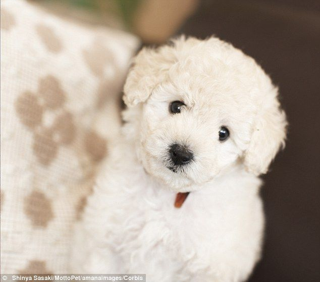Man Gets Shock Of His Life When He Buys Two Toy Poodles For 150