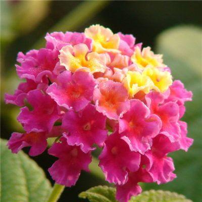 Las Flores Más Lindas Del Mundo Lantana Flores Anuales Flores Mas Lindas Imágenes De Flores Hermosas