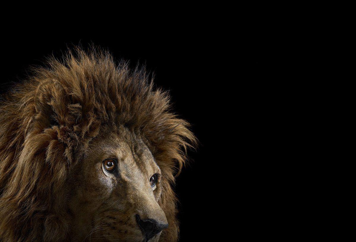Incredible Studio Portraits Of Wild Animals By Brad Wilson: Animals Wild, Pet Portraits, Pet