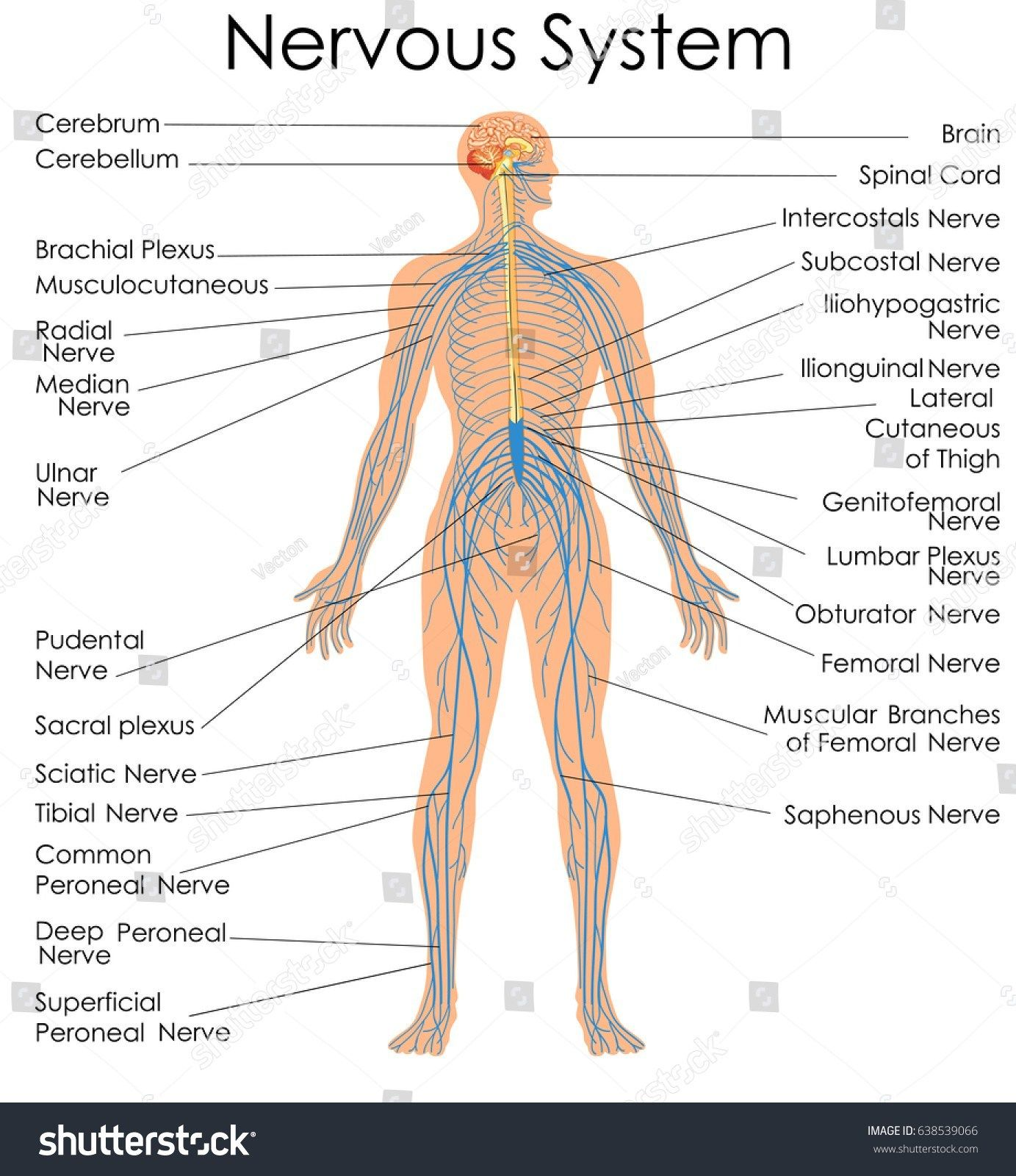 Labeled Picture Of The Nervous System Medical Education