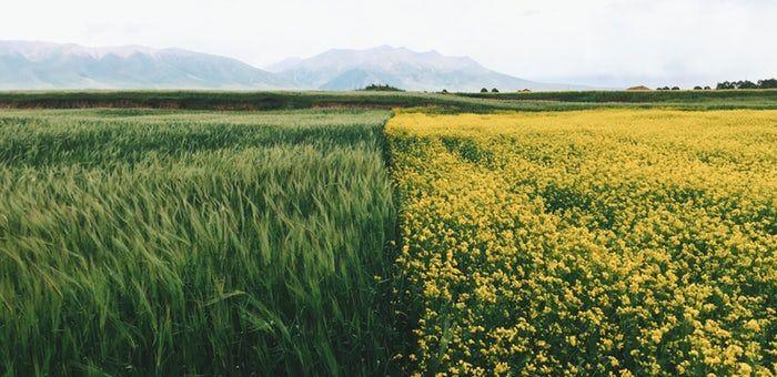 tall green grass field. A Rural Landscape With Field Of Rapeseed Neighboring Tall Green Grass