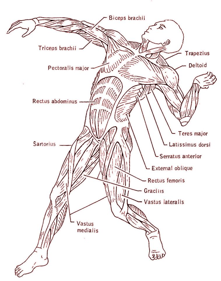 Muscular System Facts With Images Muscular System Human Body