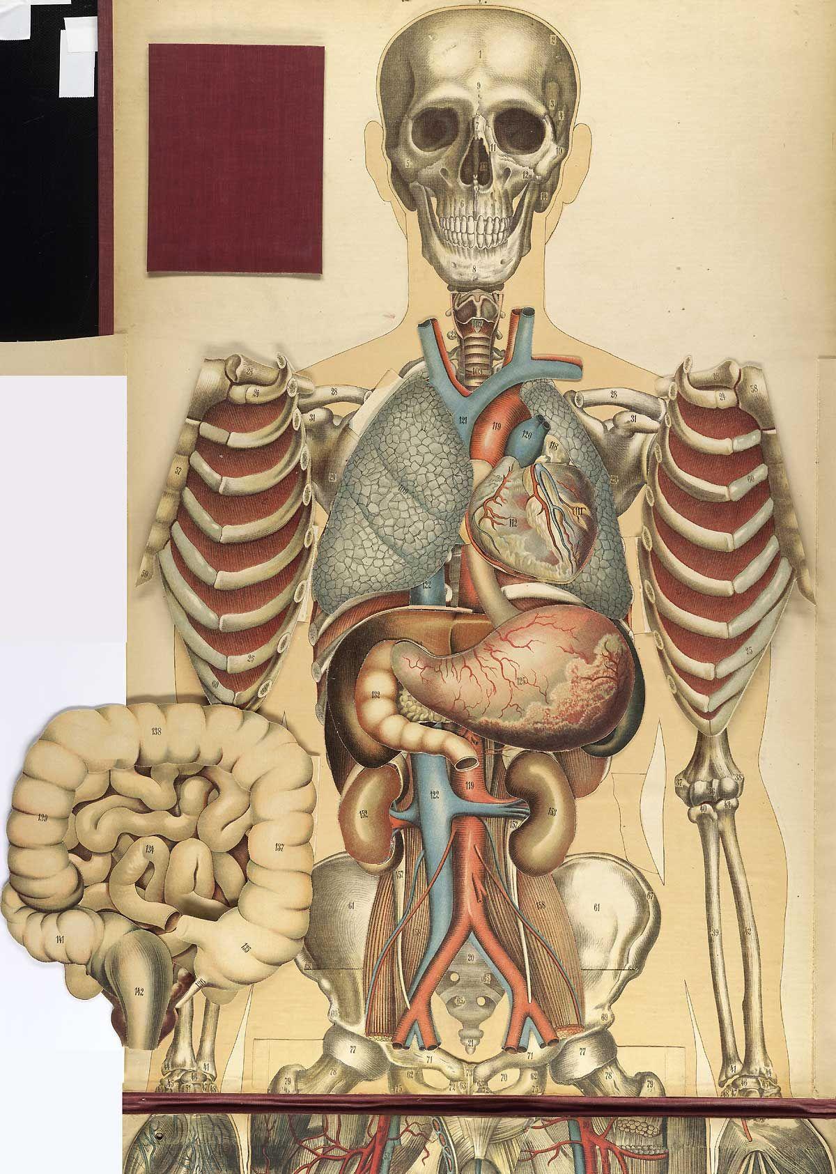 Grabado de anatomía de Julien Bouglé (1868-1903) | Historia de la ...