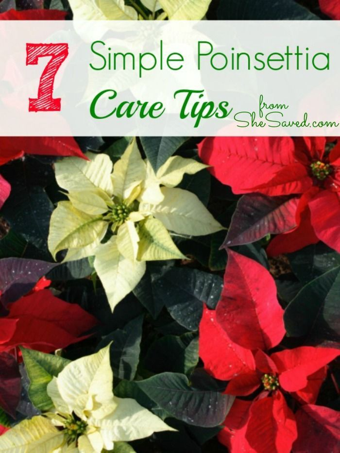 7 Poinsettia Care Tips From She Saved Let S Keep These Beautiful Plants Growing All Christmas Poinsettia Care Poinsettia Plant Christmas Plants