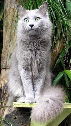 20 Most Popular Long Haired Cat Breeds Kucing Cantik Hewan Lucu Piaraan