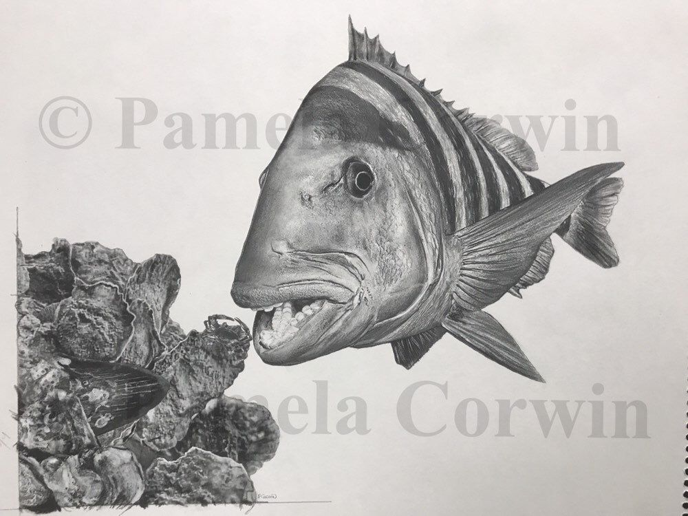 Sheepshead Art Sheepshead Drawing Sheepshead Fishing Sheepshead Print Sheepshead Fish Megalodon Tooth Sheepshead And Oysters Oysters Art Megalodon Megalodon Tooth