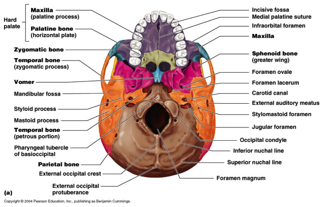 Skull, inferior view | Nursing | Pinterest