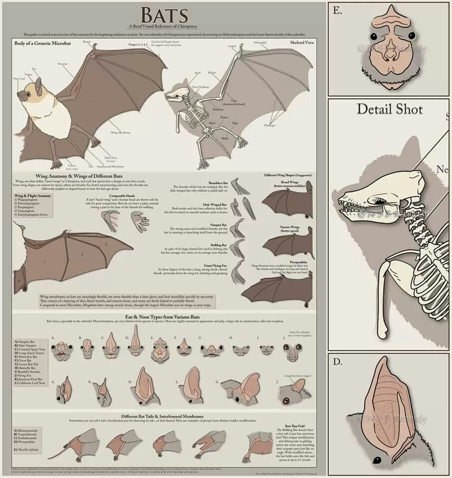 Bat anatomy by Sarah Kennedy
