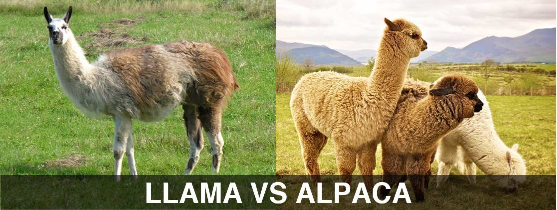 Difference Between Llama And Alpaca