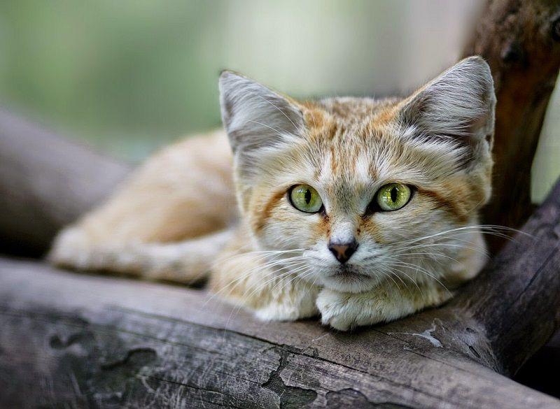Барханный кот. Фото   Песчаная кошка, Кошки и котята