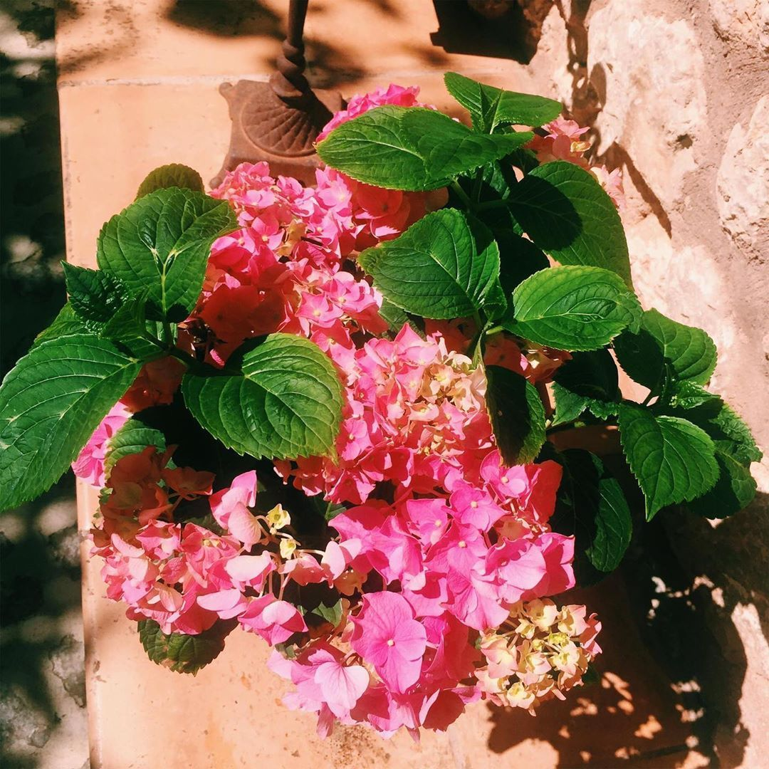 Beautiful Hydrangea Hortensia In Spanish Ponyfony Flowers Mallorca Soller Spain Island Hotel Virtuosotr Beautiful Hydrangeas Holiday Vacations Soller