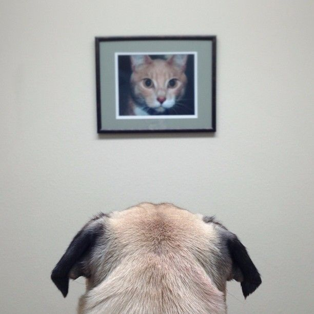 Meet Norm The Personality Filled Pug Dog Photography Pugs