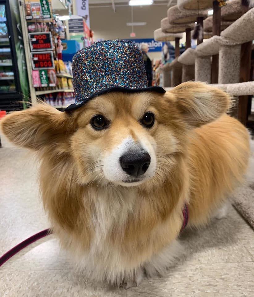 A Cute Dog Puppy In 2020 Funny Dachshund Cute Dogs Wiener Dog