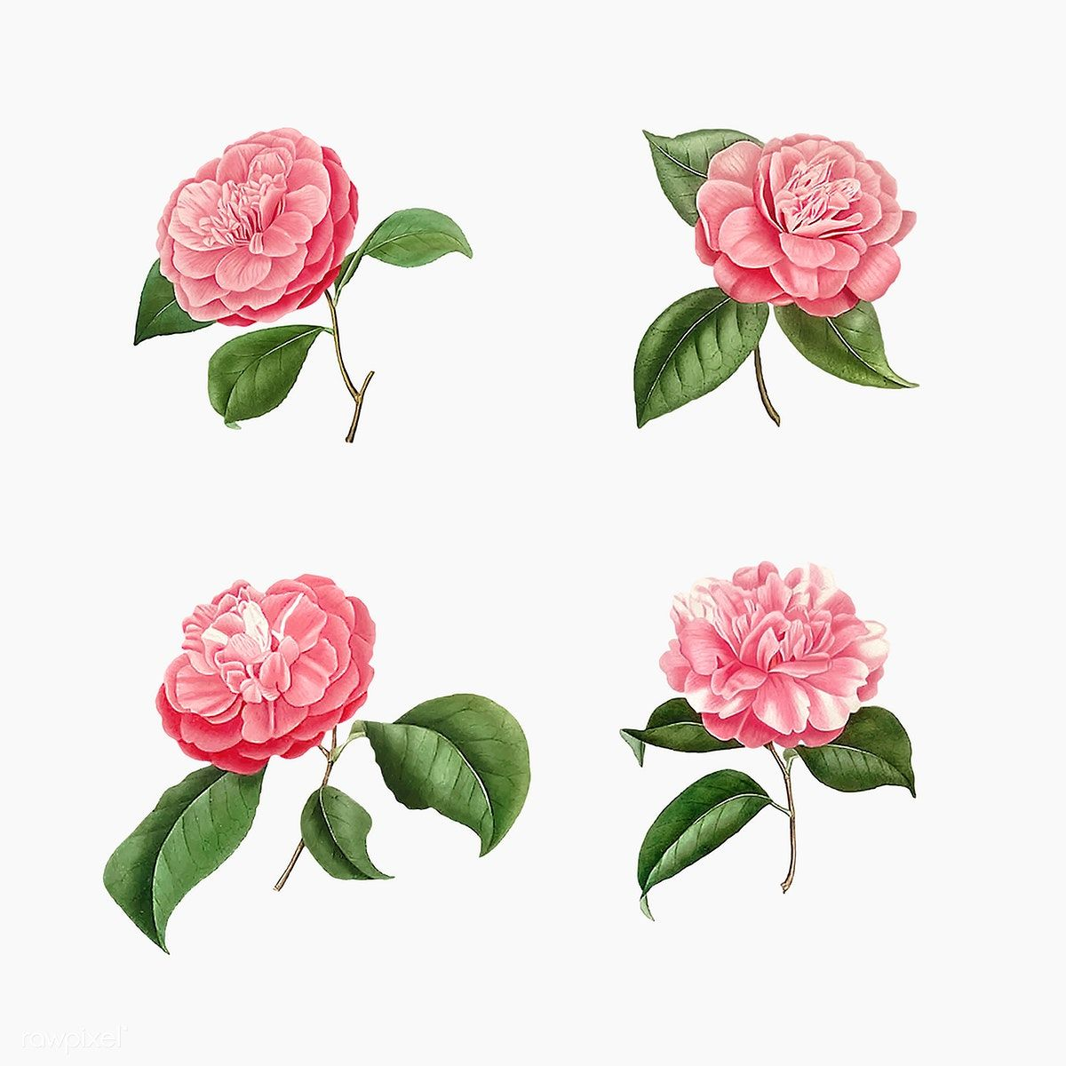 Download Premium Vector Of Vintage Set Of Pink Camellia Flowers Vector In 2020 Flower Illustration Rose Illustration Camellia Flower
