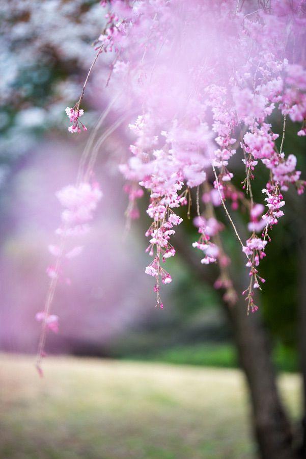Pin By رجاء ربي On زهور وعطور Weeping Cherry Tree Cherry Tree Blossom Trees
