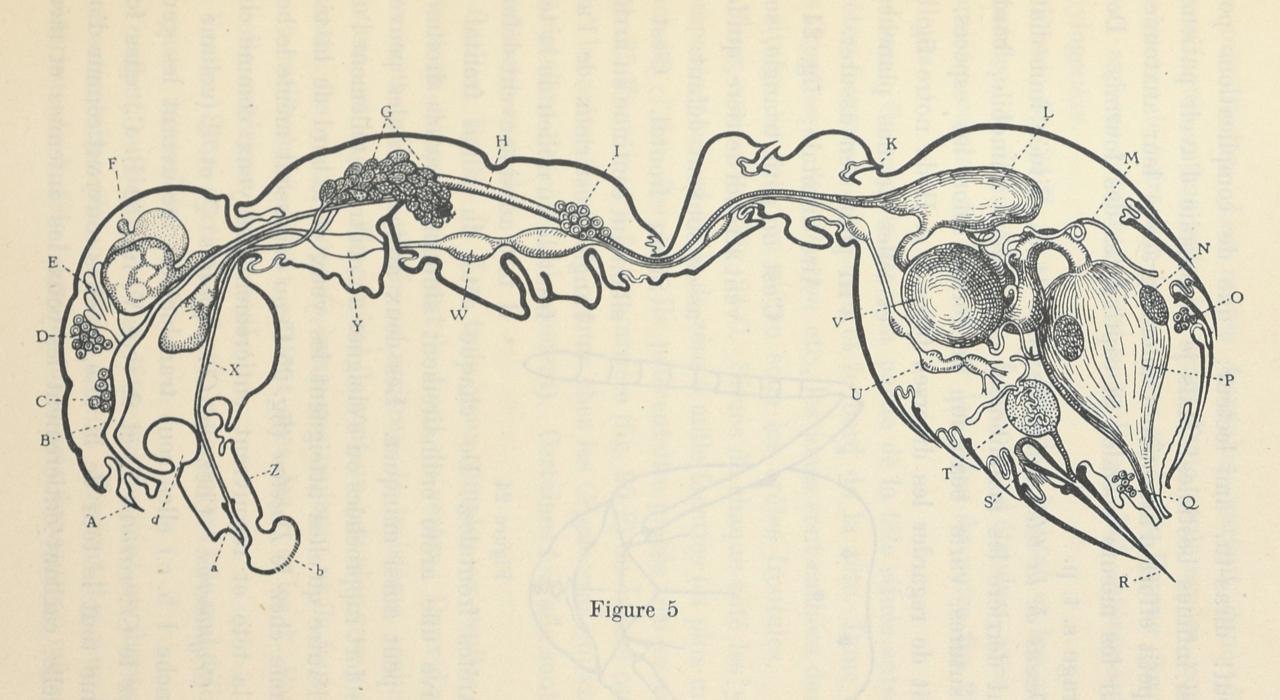Fig. 5. An ants internal organs.Le monde social des fourmis du globe comparé à celui de l'hom... - #1920s #1921 #anatomy #ant #diagram #insect #internal #nemfrog #organs #zoology