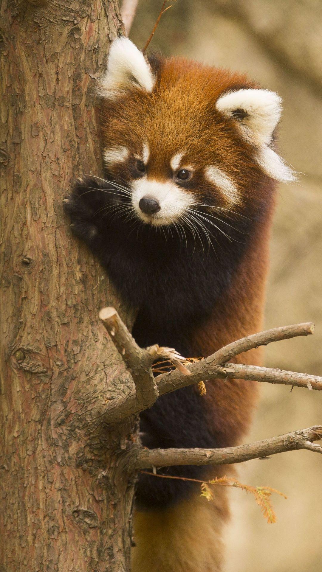Animal Red Panda Chicago Zoo Mobile Wallpaper Red Panda Red Panda Cute Panda Wallpapers