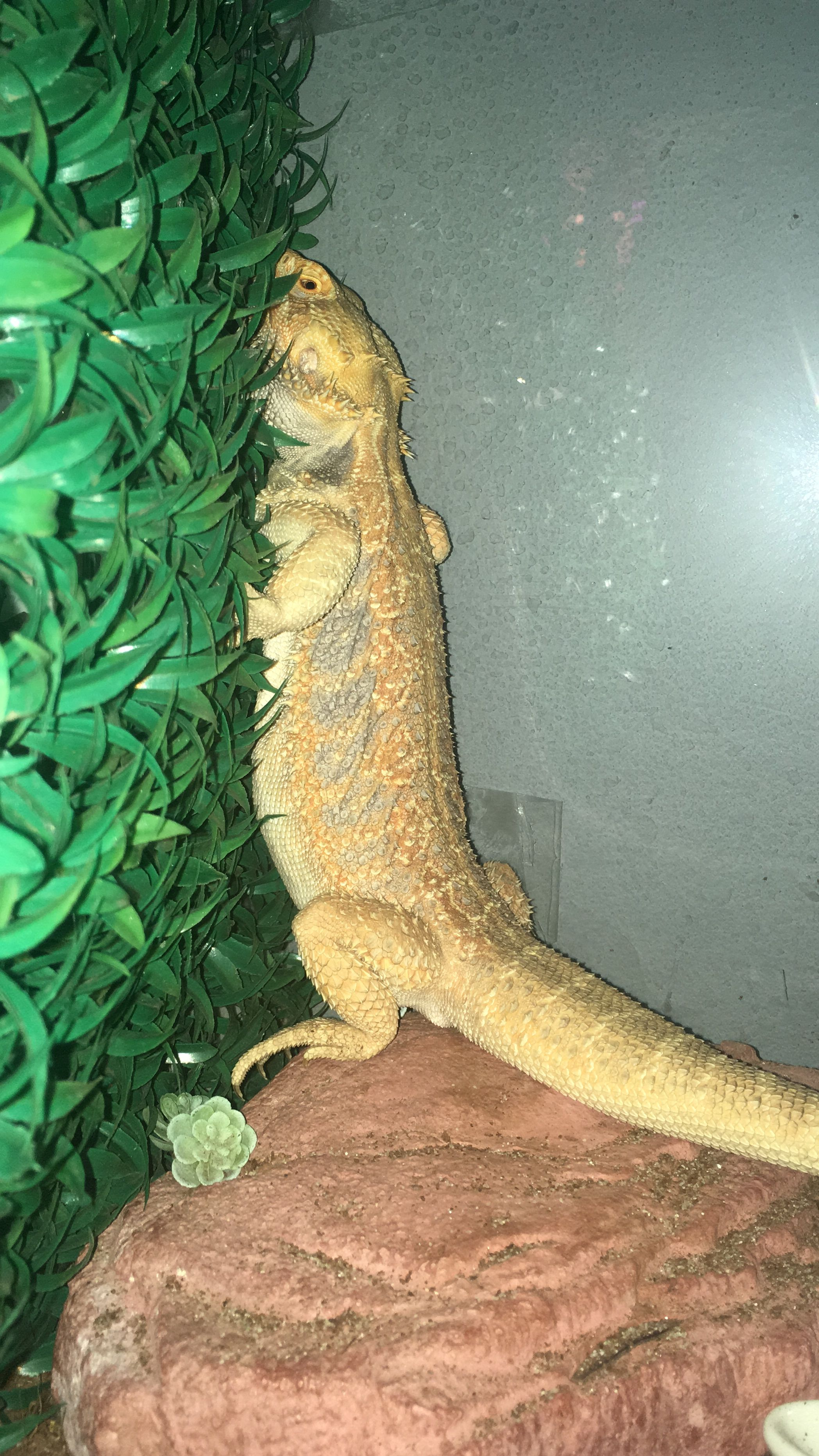 Dragon barbudo tomando una siesta por molestar 😠   Dragón barbudo ...