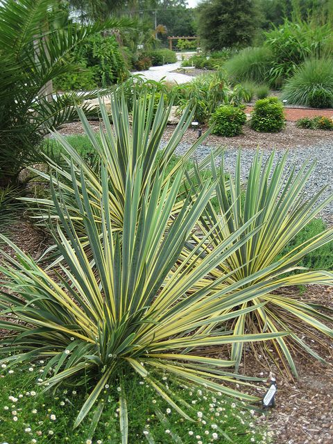 Yucca 39 bright edge 39 perennials plants and sandy soil for Modern low maintenance plants