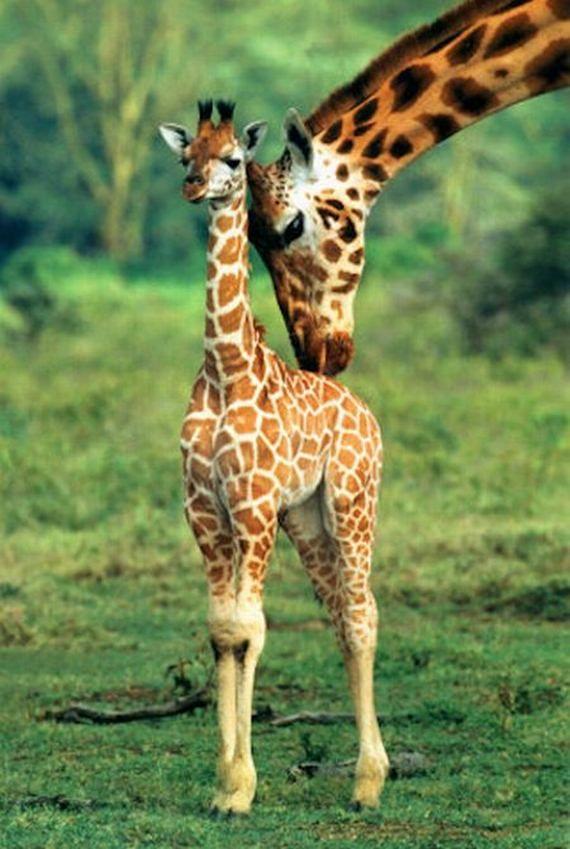 Jirafa Bebe Las jirafas bebés más tiernos   Animales   Pinterest ...