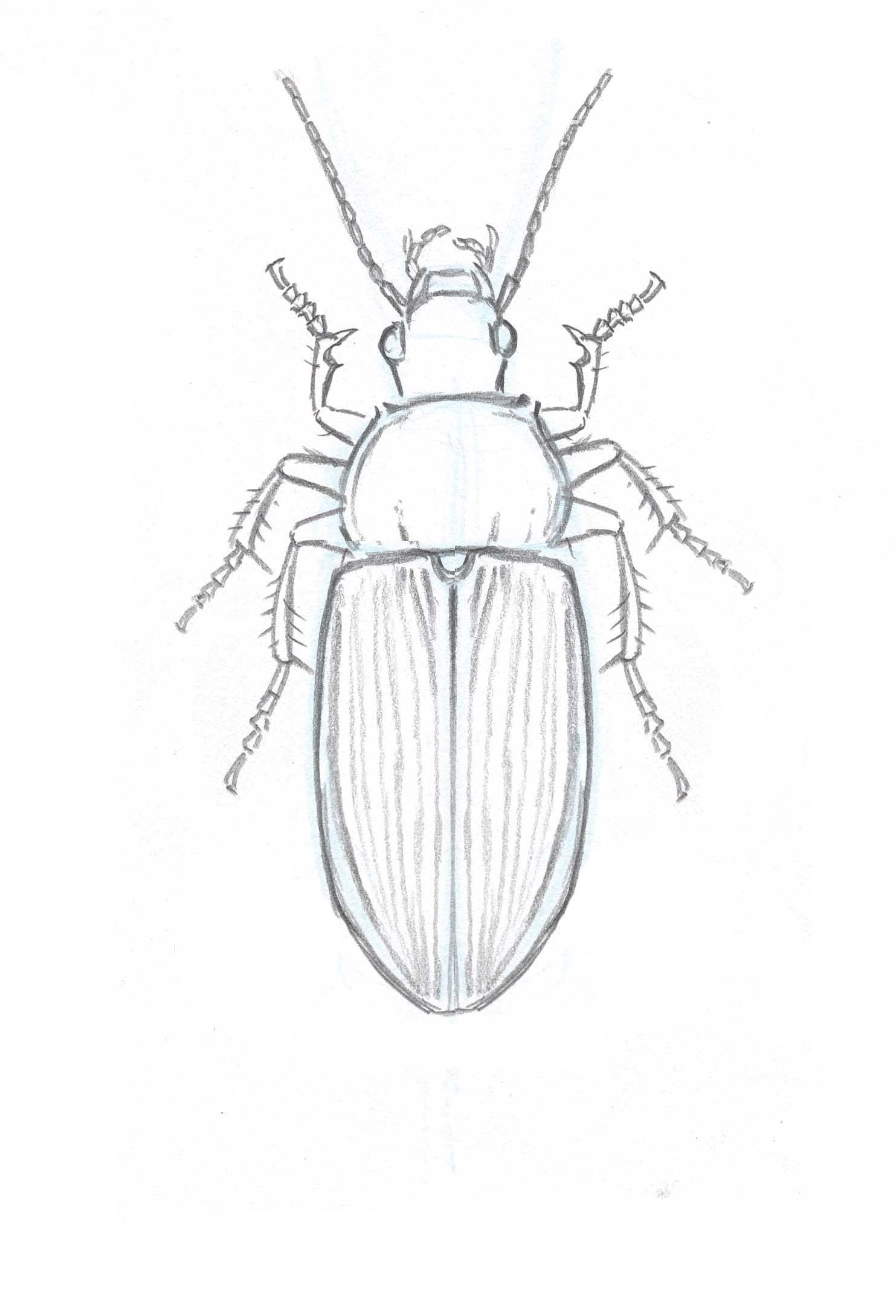 How To Draw Insects Understanding And Drawing The Legs