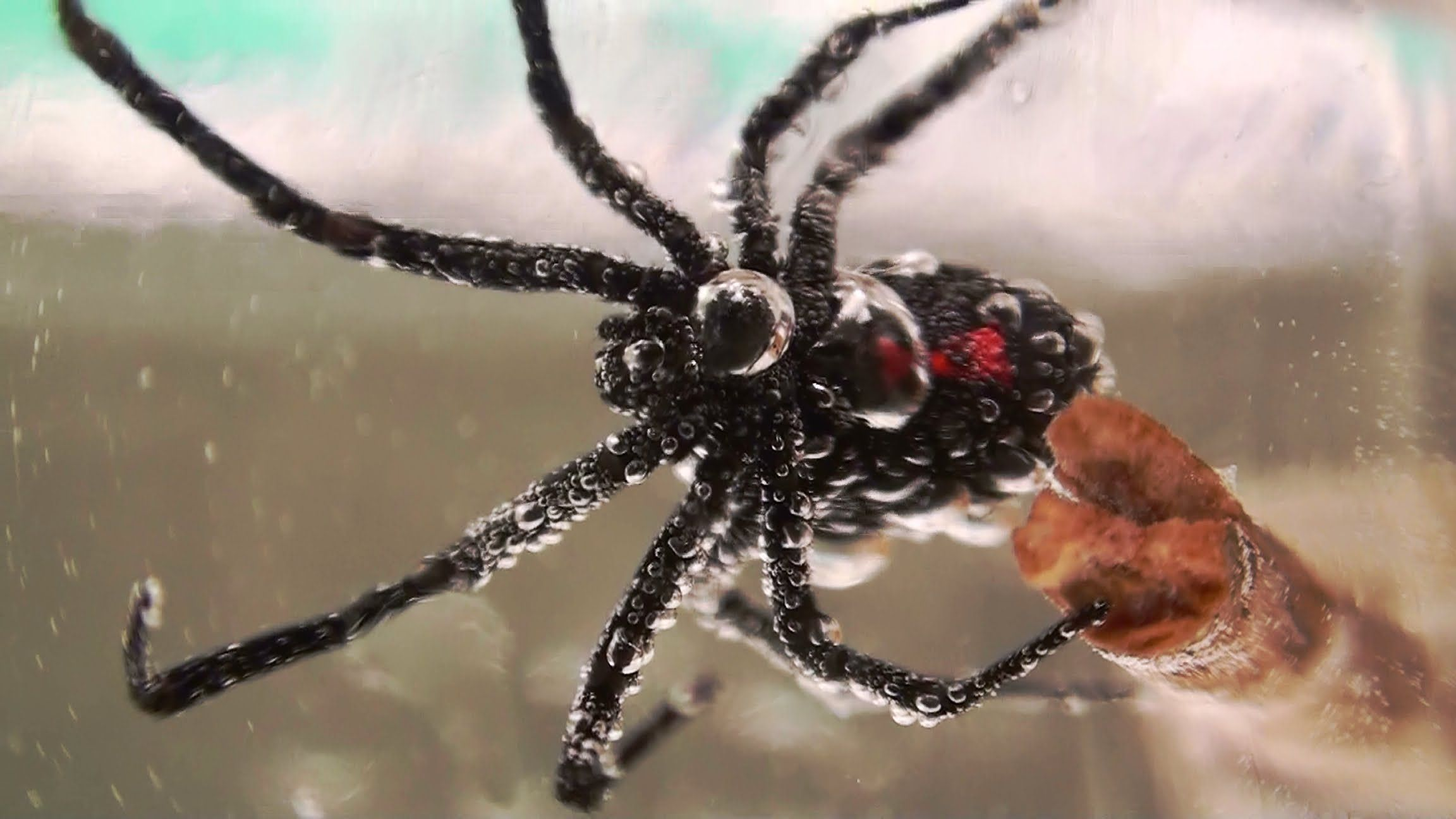 Never Flush Spiders Down The Toilet; Black Widow Spiders