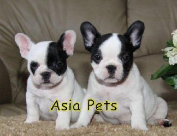 Frenchies Bulldog Puppies For Sale French Bulldog Puppies Bulldog