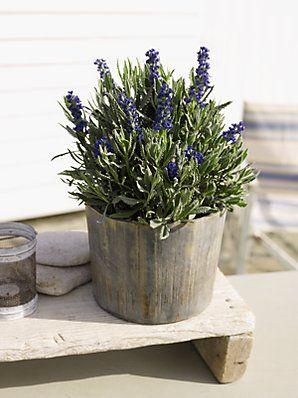 Outdoor British-grown lavender