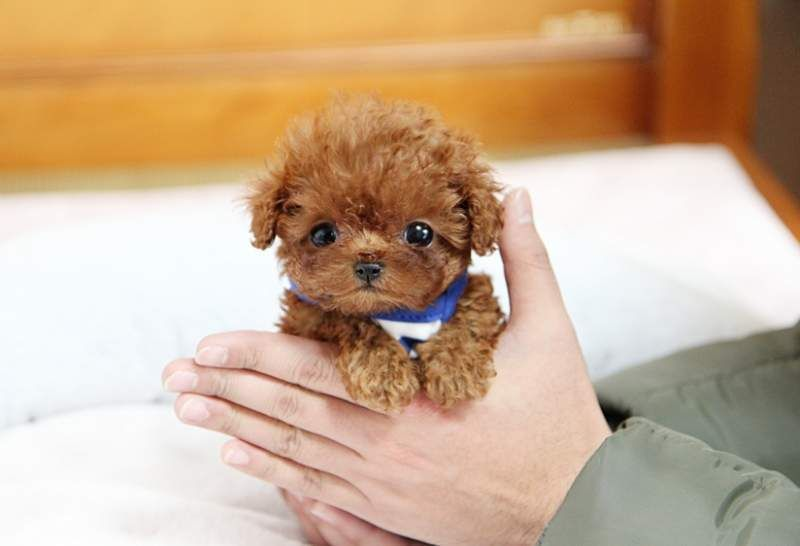 Poodle Puppies For Sale Baby Toys Baby Care Teacup Puppies Cute Little Puppies Cute Baby Animals