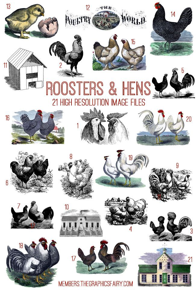 Roosters And Hens Image Kit Tgf Premium Rooster Images Rooster Hens