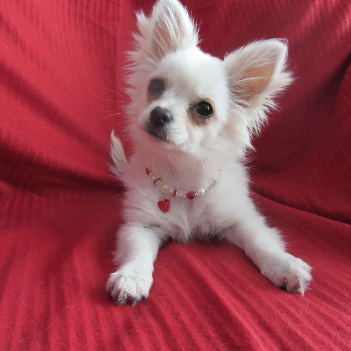 White Long Haired Chihuahua Kc White Long Coat Chihuahua Brierley Hill West Midlands Chihuahua Long Coat Chihuahua Cute Little Animals