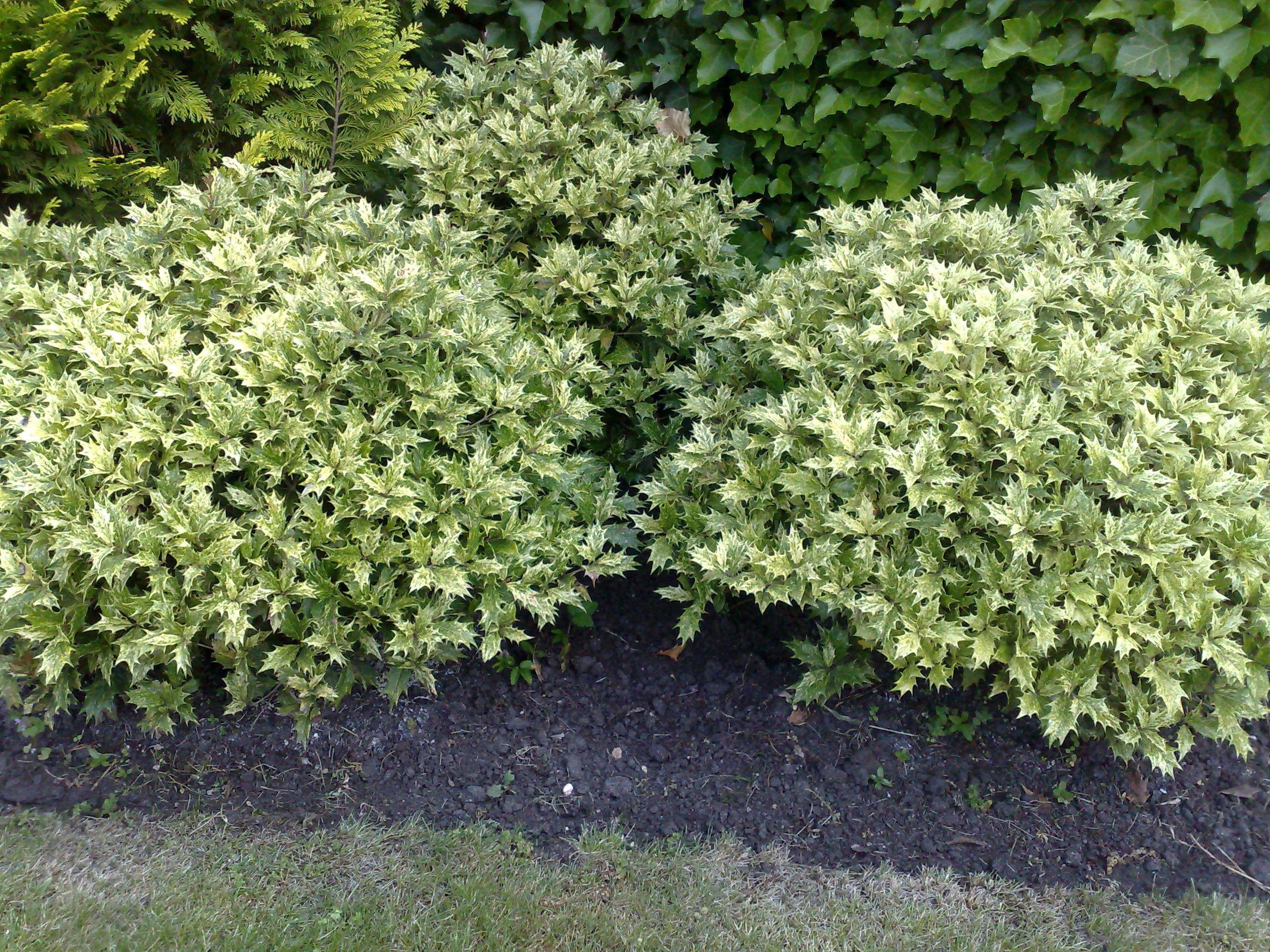 Osmanthus heterophyllus Variegatus Garden Designs