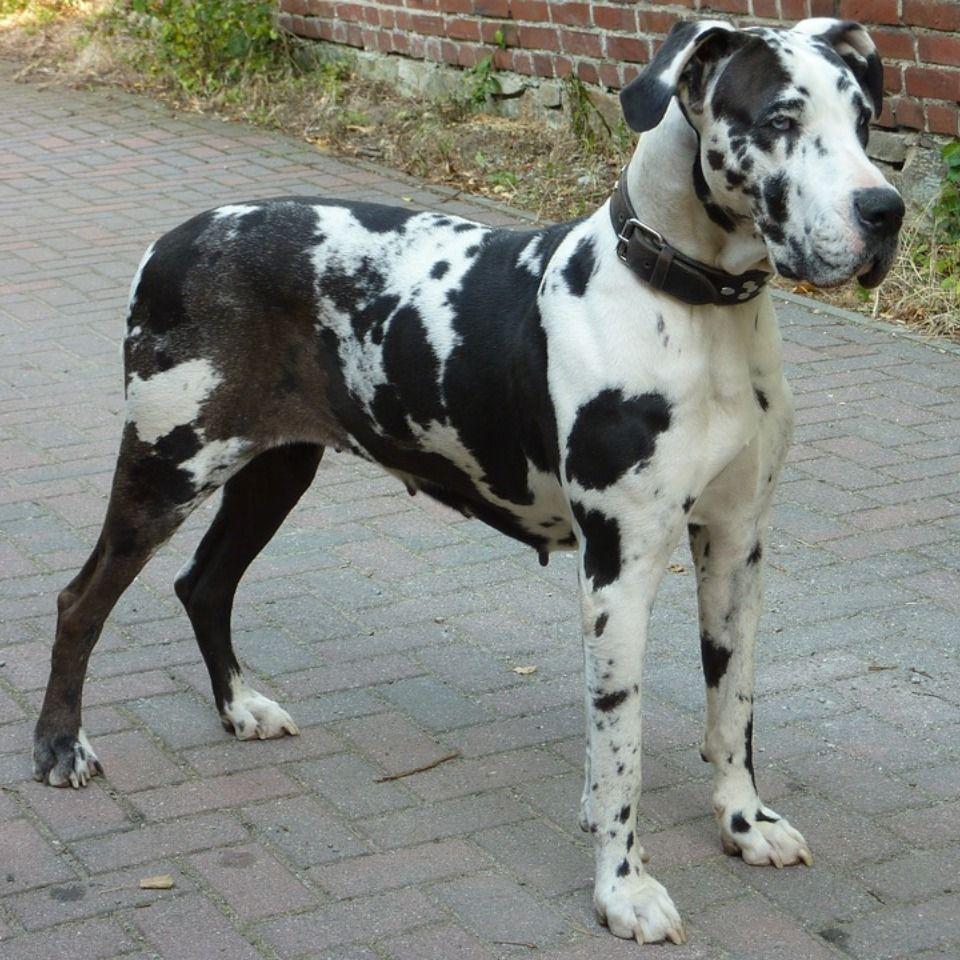 Dane Dog Gentle Giant Great Dane Great Dane Puppy Dane Dog
