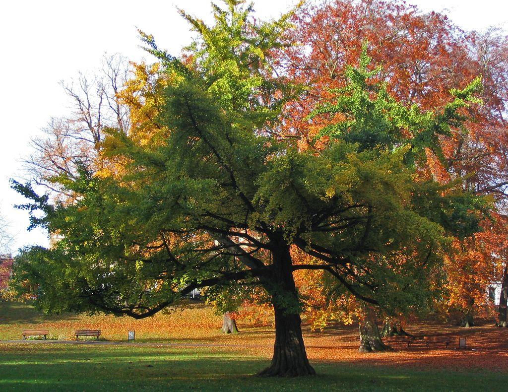 гинкго билоба фото дерева