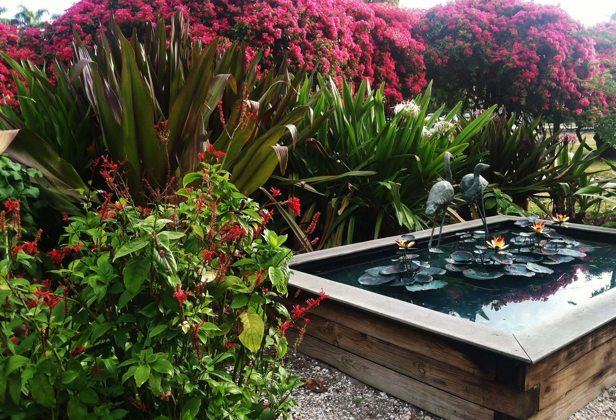 Fountain in the butterfly garden. Red Firespike (Odontonema strictum ...