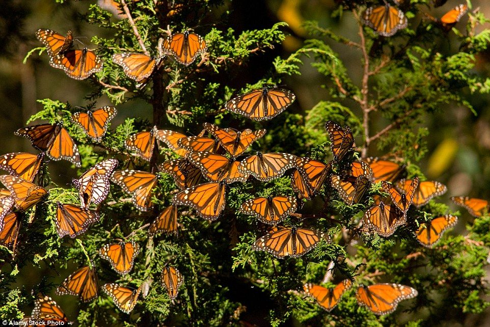 Monarch butterflies rest on pine trees in theRosario Butterfly Reserve, Michoacan. The butterflies are counted by the surface area they cover