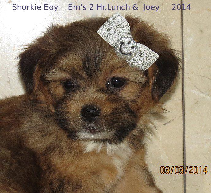 Www Ohpuppylove Com Morkie Shorkie Maltipoo Breeder Puppies