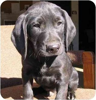 Bloodhound Lab Mix Puppies For