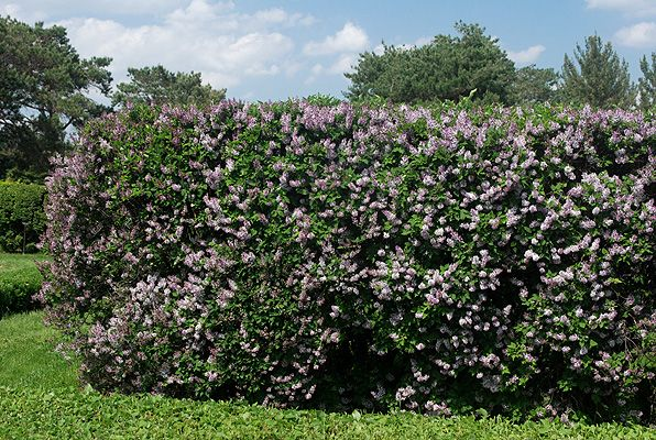 Korean Lilac Flowering Hedge Landscaping Ideas Living