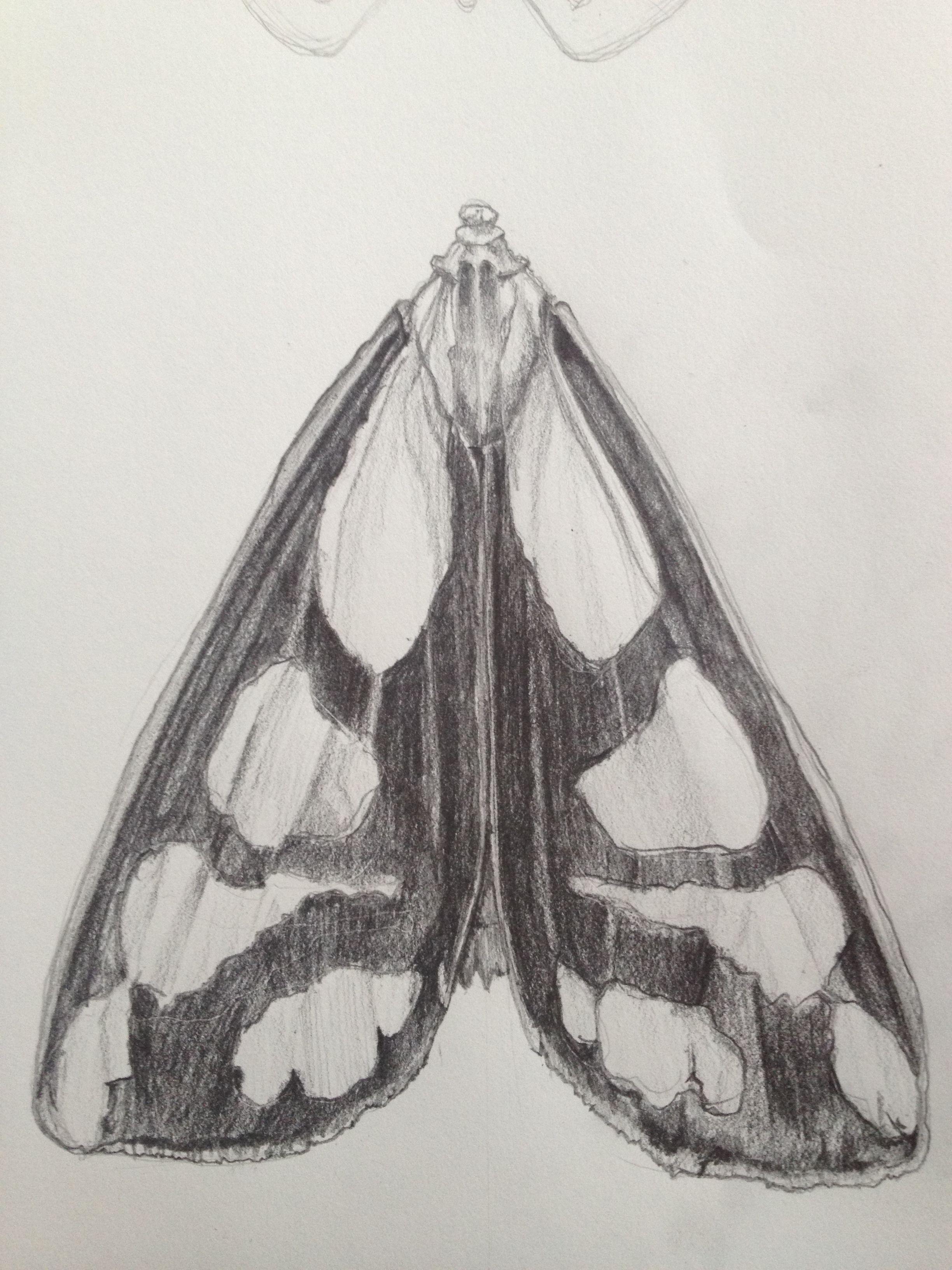 Moth drawing.  Work in progress.