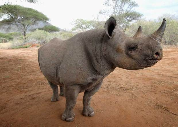 endangered species of the 1960s   Outrage as black rhino hunt permit sold for $350,000 at Dallas Safari ...