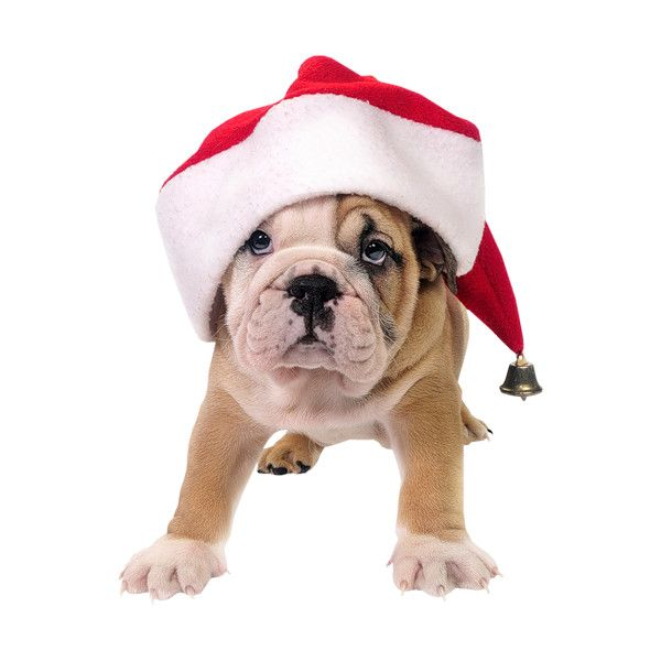 Holliewood Popchristmas Dog2 Png Liked On Polyvore Featuring