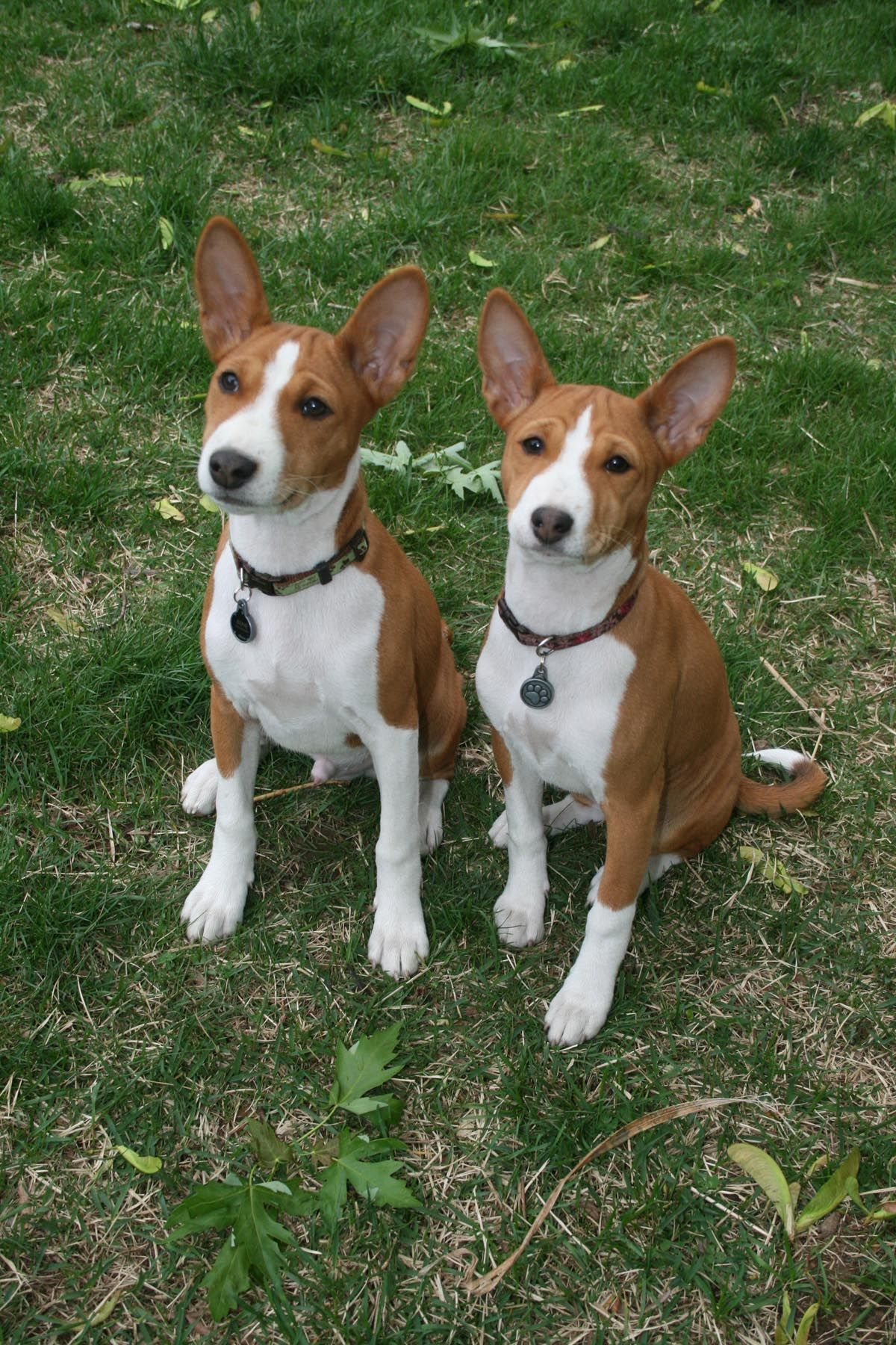 Basenji User submitted Basenji photos // Basenji Blogs