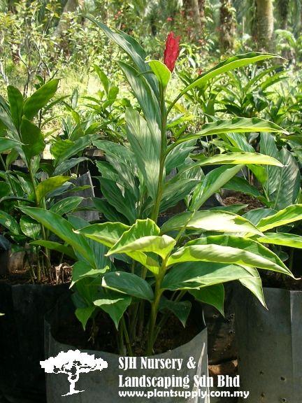Shrubs Whole Plants