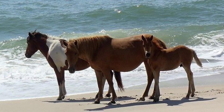 Wild Ponies, Assateague Island, Mid-Atlantic, USA, North America