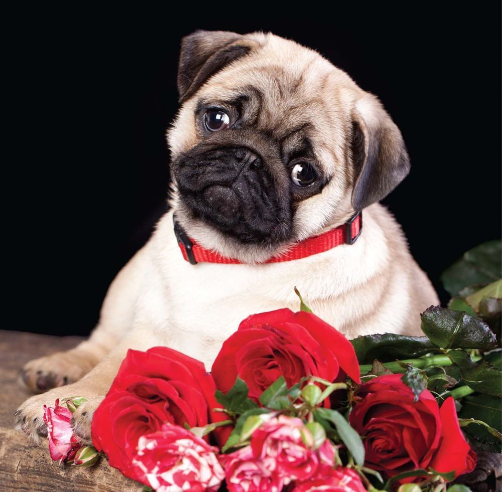 Birthday Card Pug Puppy Dog Roses Ideal For Wife Mum Sister Friend