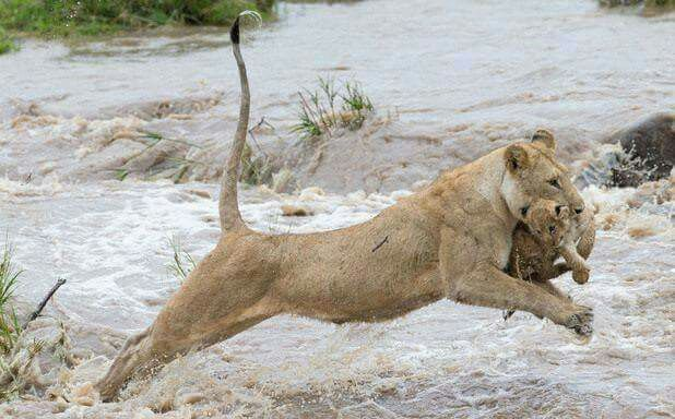 Saving her cub from floods