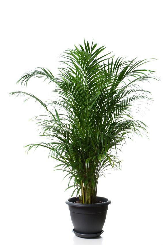 Pictures Of Indoor Palm Plants Of Plant Name Is Areca Palm Or Butterfly Palm Plant