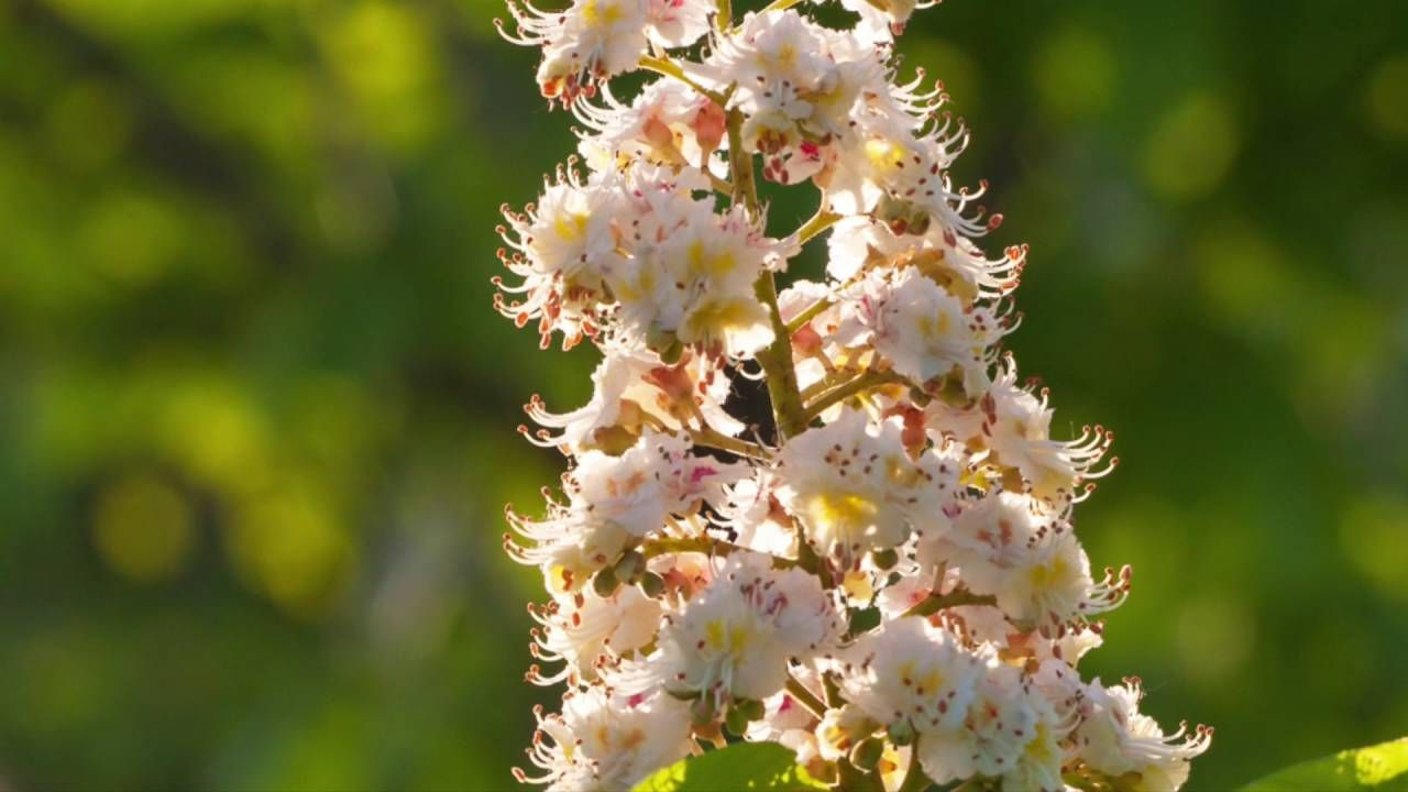 The bach flower white chestnut helps you f you are worrying bach flower remedy white chestnut the bach flower white chestnut helps you f you are worrying sometimes your thoughts keep grinding and you simply cant mightylinksfo