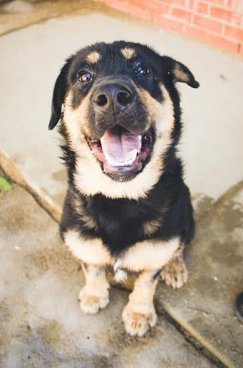 Adopt Rocky On Small Dog Rescue Rottweiler Dog Animal Rescue